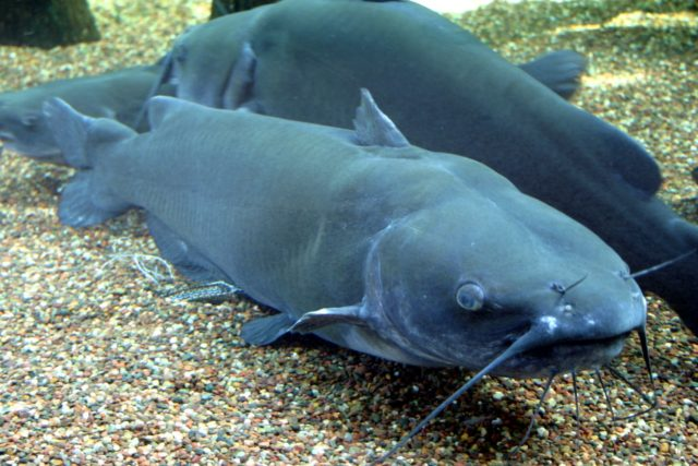 Boalボー(Catfish species)